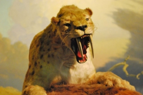 Smilodon assaults at ground sloth in the La Brea exhibits. Credit: Brian Switek.